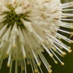 bee pollenating white puff flower
