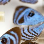 pinned blue butterfly specimen
